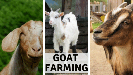 Raising meat and dairy goats-why I failed - Farmhouse Basic