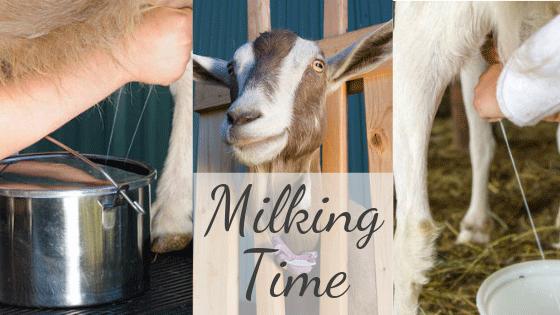 Raising meat and dairy goats-why I failed - Farmhouse Basic
